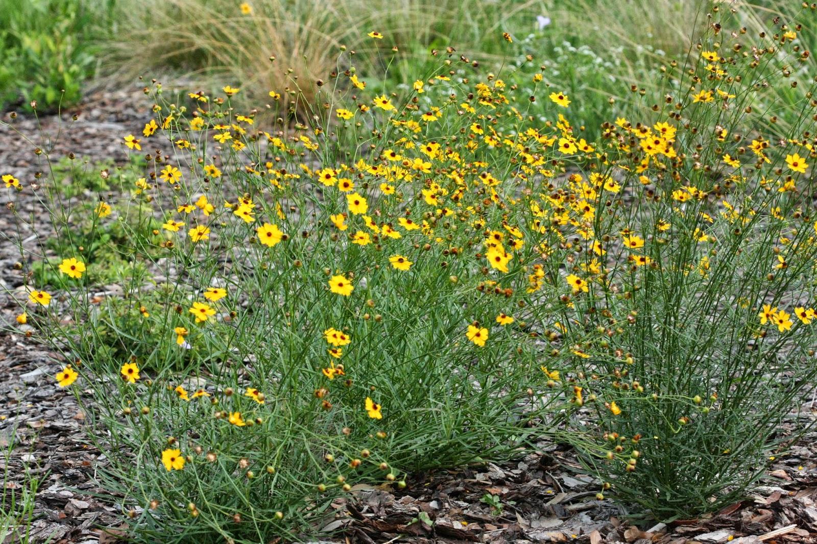 Native Florida Wildflowers: Leavenworth's Tickseed - Coreopsis ...