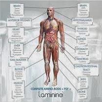 Aminoacizii completi din Laminine