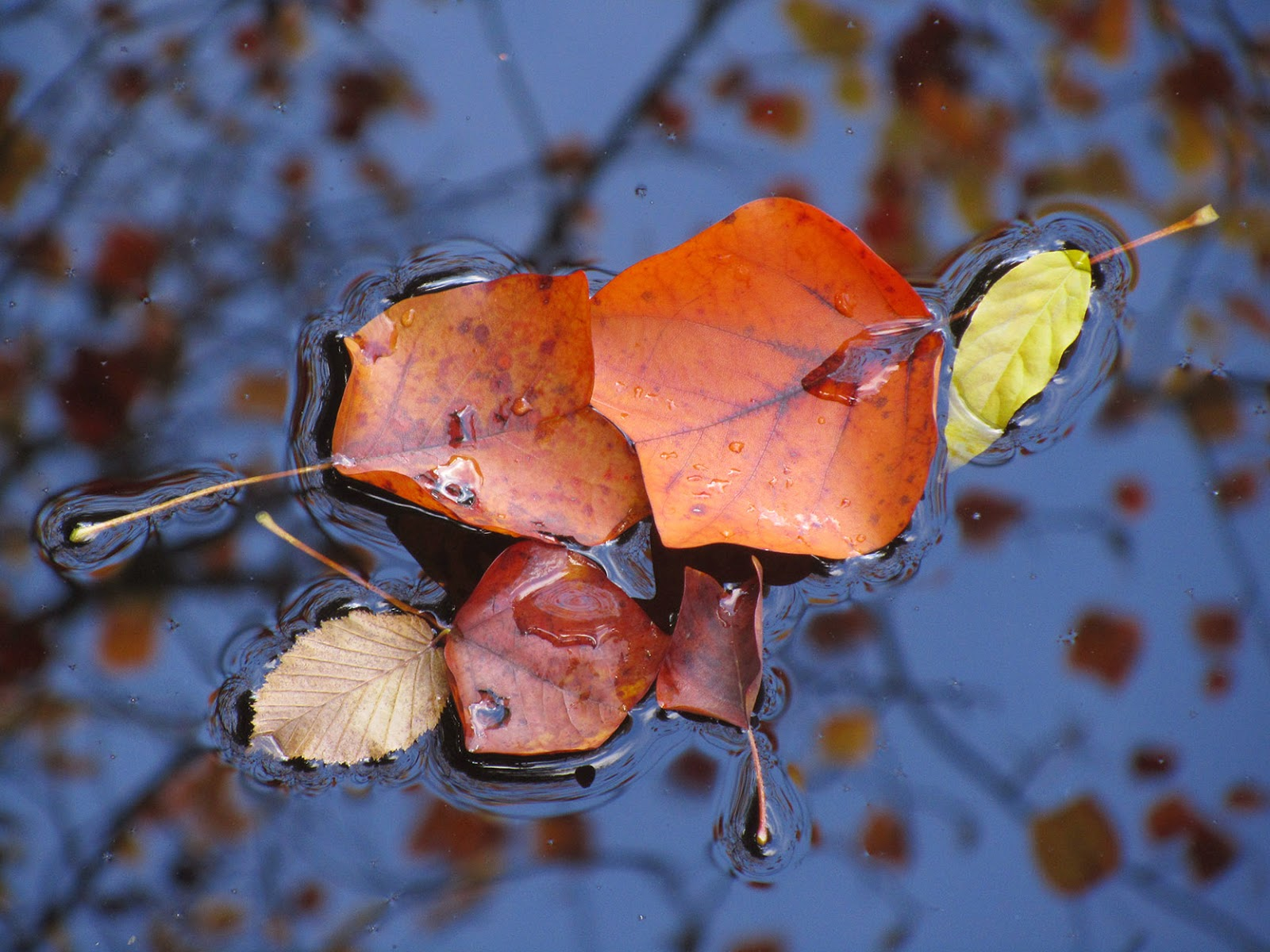 floating orange leaves