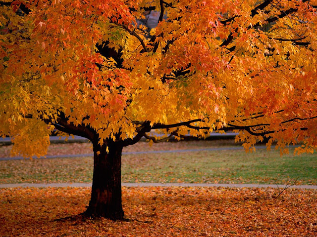 Autumn, fall, tree, leaves