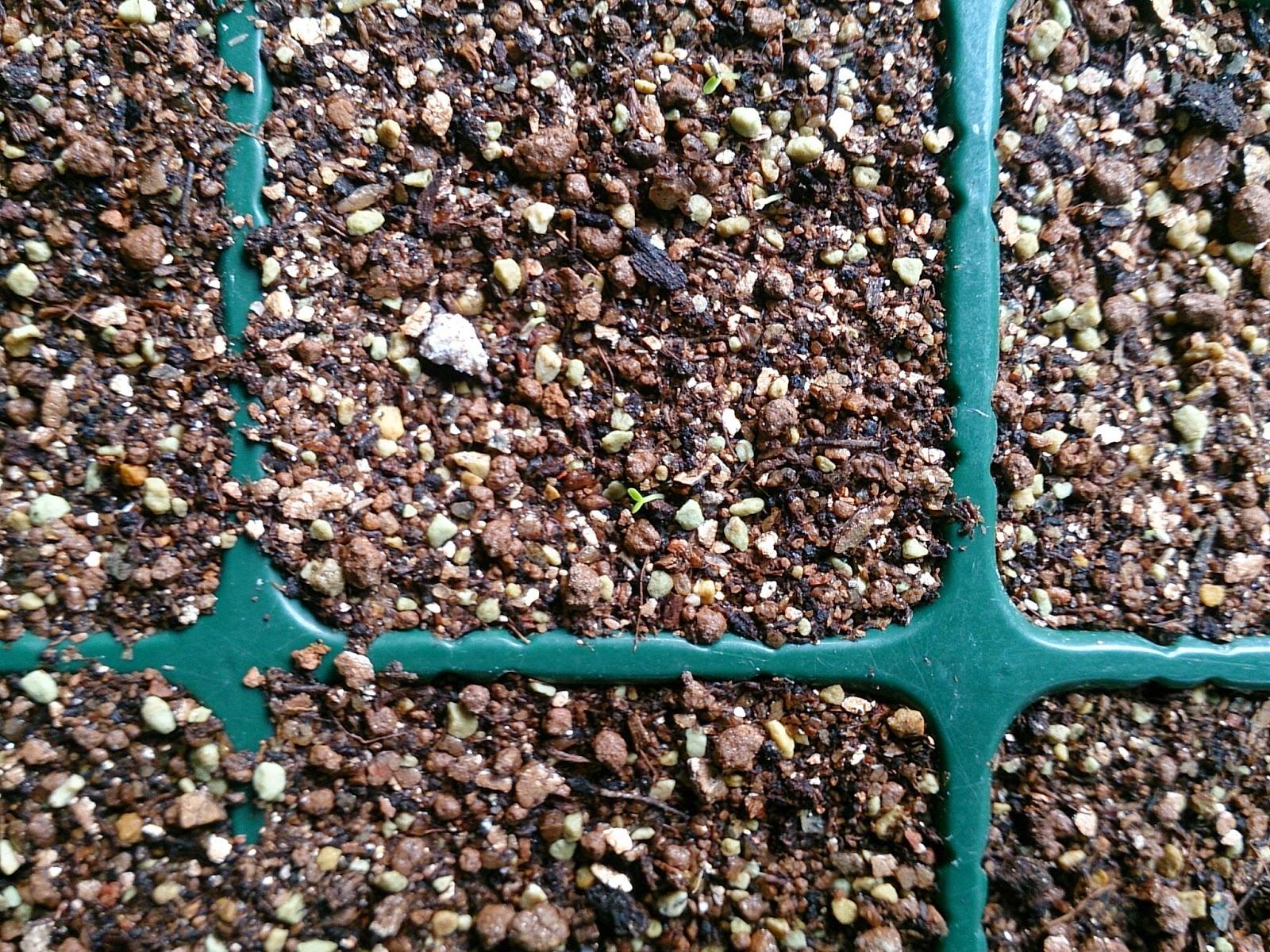 フィーバーフューの芽