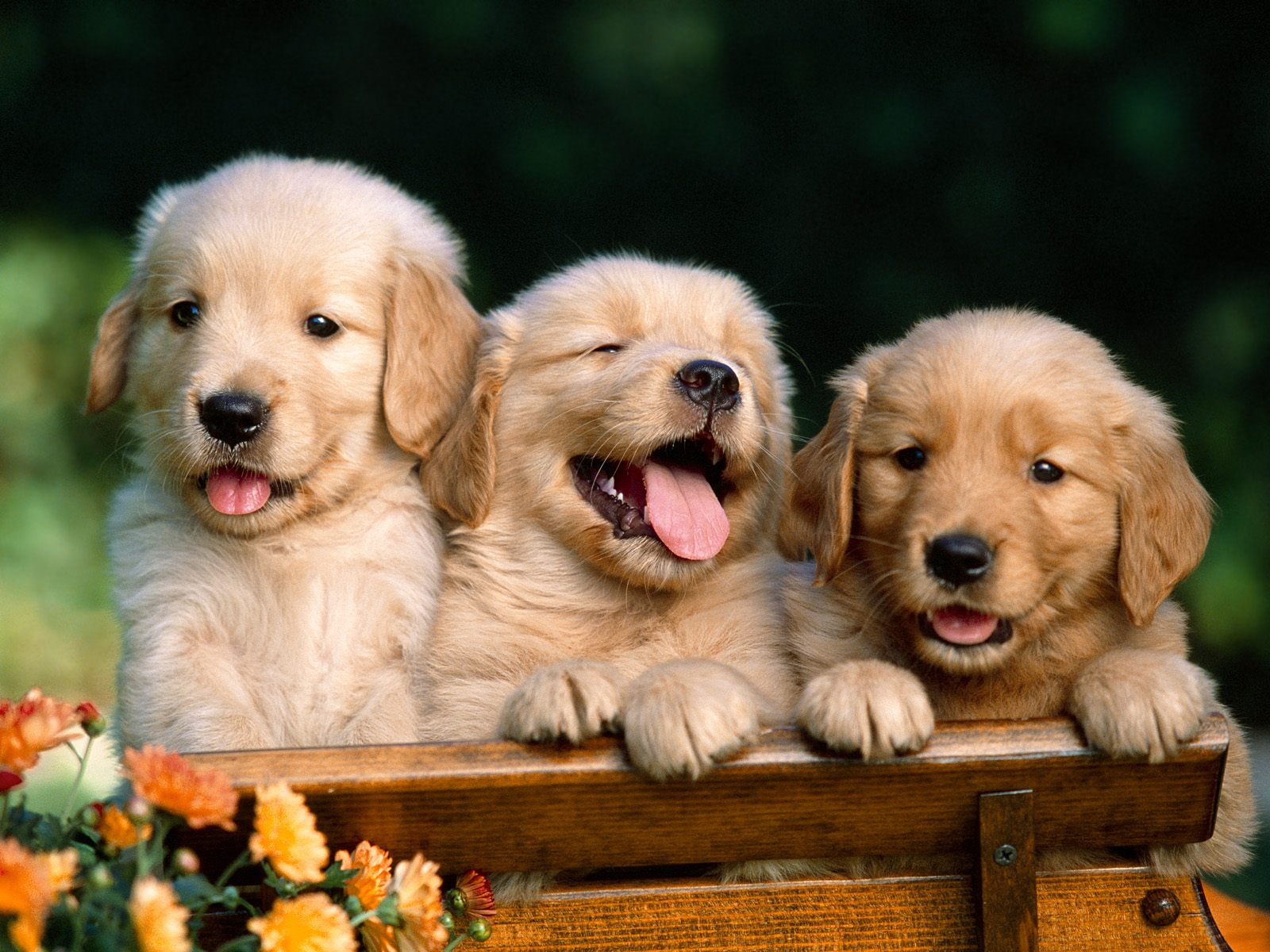 http://2.bp.blogspot.com/---dRZtjDTvc/TjWjK1FLc1I/AAAAAAAAAHM/su4VetUkSy4/s1600/Golden_Retriever_Puppies.jpg