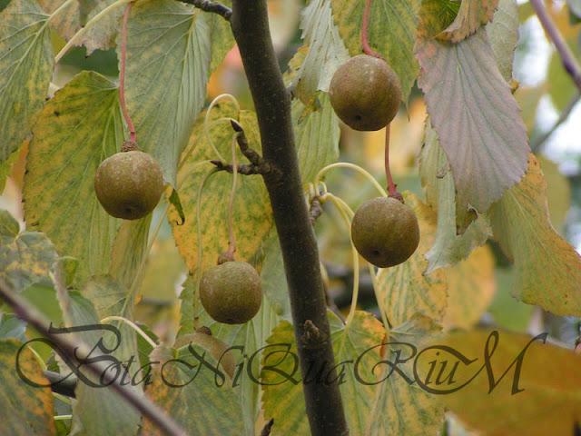 Botaniquarium - Davidia involucrata fruit