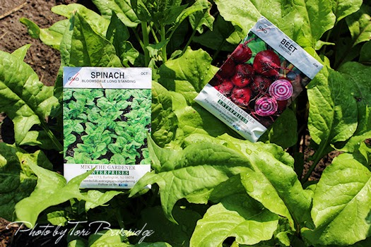 Spinach and Beets grown from non gmo seeds Photo by Tori Beveridge