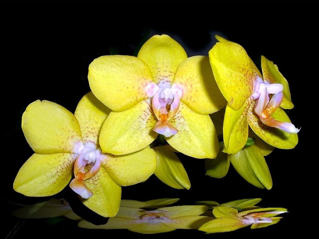 http://2.bp.blogspot.com/---u7_uECw58/T361QgpT3YI/AAAAAAAAFPs/fUaalYldNy8/s1600/orhidee_galbene.jpg
