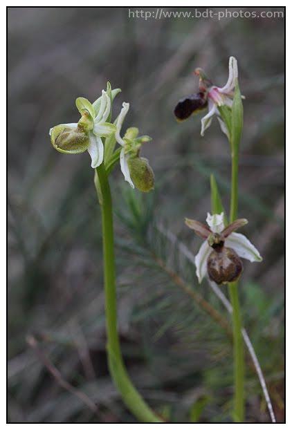 Ophrys arachnitiformis Ophrys-en-forme-d%2527araign%25C3%25A9e-%25288%2529
