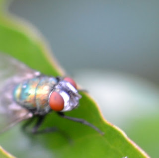 macro-photography-fly-3.jpg