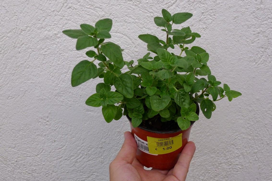 Maldito roeor cultivar oregano en maceta - Plantar en maceta ...