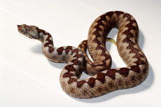 """Еднометрова змия """"изпълзя"""" в центъра на Русе"""