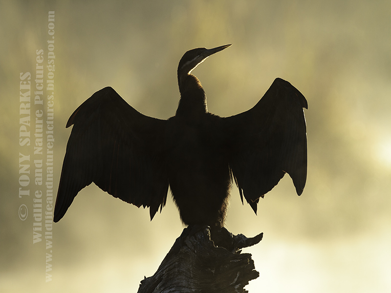 African Darter (Anhinga rufa) backlit silhouette and spreading its wings
