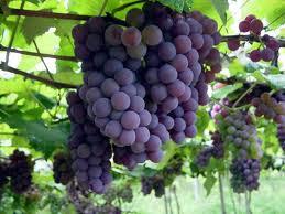 cacho de uva roxa