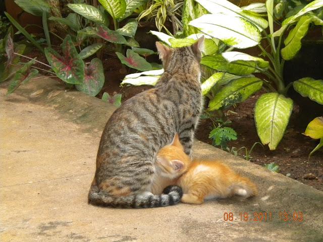 suckling kitten