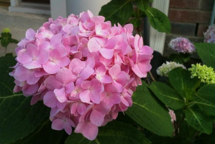 Hortensia una planta ideal para climas suaves y h medos - Variedades de hortensias ...