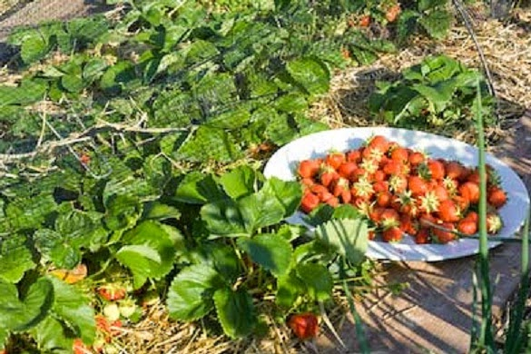 Planting Strawberry in Lowland Area