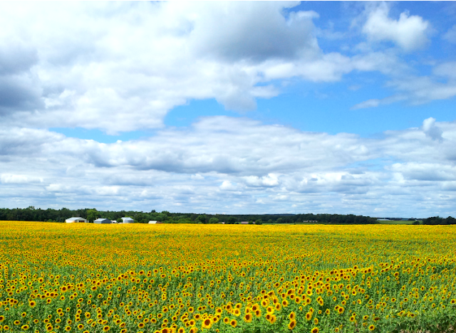 rows of sunflowers in central minnesota