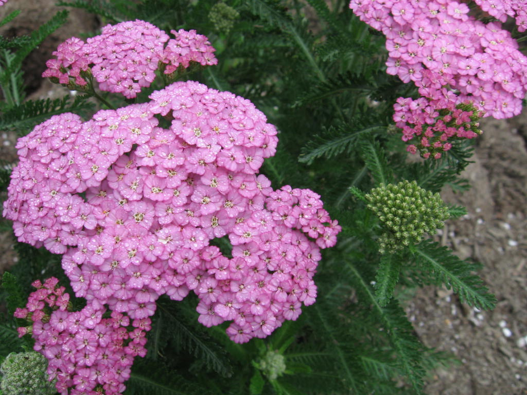 Flowers & Planets Achillea Apple Blossom