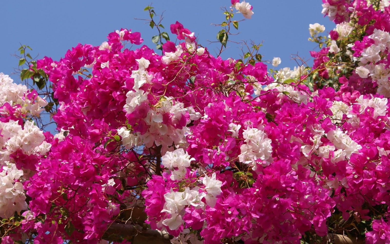 Wallpapernarium arbusto de flores de dos colores - Arbustos con flores ...