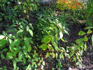 Rosenhortensior Hortensia heteromalla