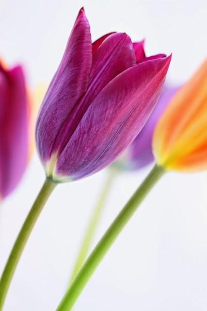 Colourful Tulips