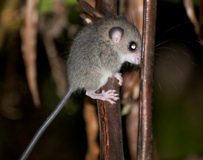 Pencil-tailed Tree Mouse (Chiropodomys sp)