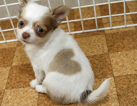 toy dog puppies pictures chihuahua puppies 450x350