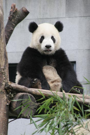Animals Wallpapers Play Feed The Panda Cool Puzzle