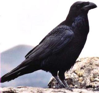Foto de un Cuervo negro