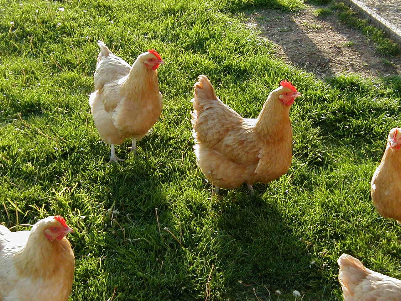 Chicken | Animal Wildlife