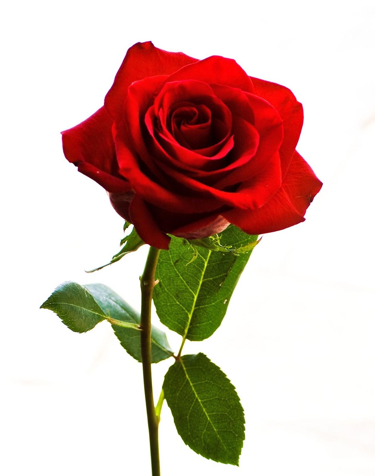 Morfologi Bunga Mawar | BIOLOGY SMART