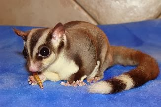 sugar glider black beauty