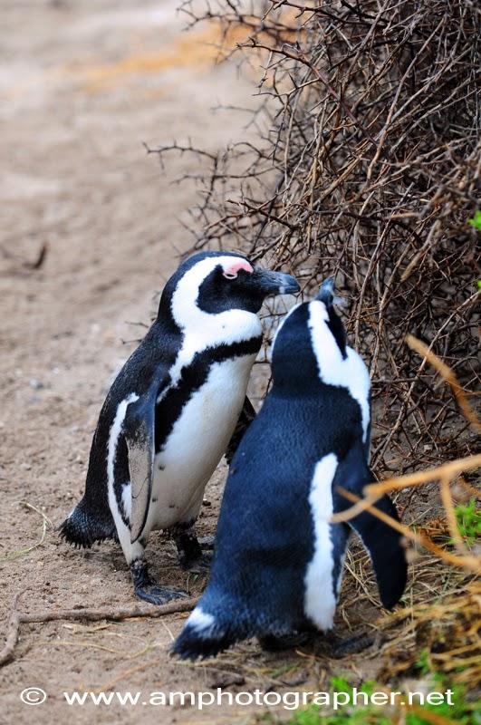 I pinguini di Boulder's beach