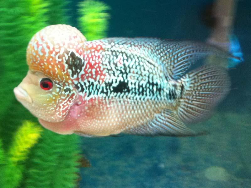 Flowerhorn The Hybrid Cichlids: Jacky Tang Kamfamalau!