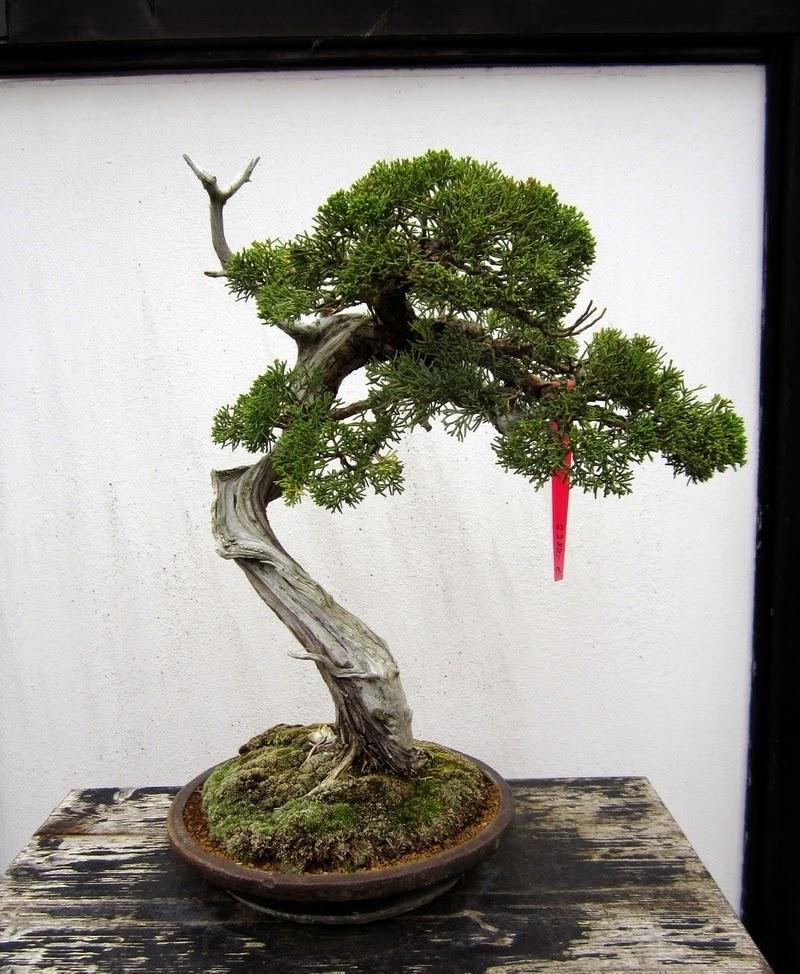 fotos aus dem bonsai zentrum heidelberg. Black Bedroom Furniture Sets. Home Design Ideas