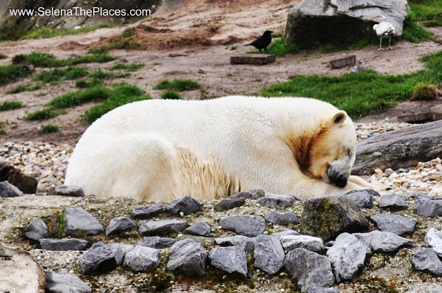 Polar Bear Biljdorp Zoo Rotterdam