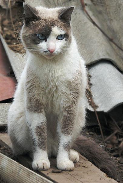 кот голубоглазый сиамский метис Хантер голубые глаза cat Hunter blue eyes blue-eyed Ro-Ksana.blogspot.com