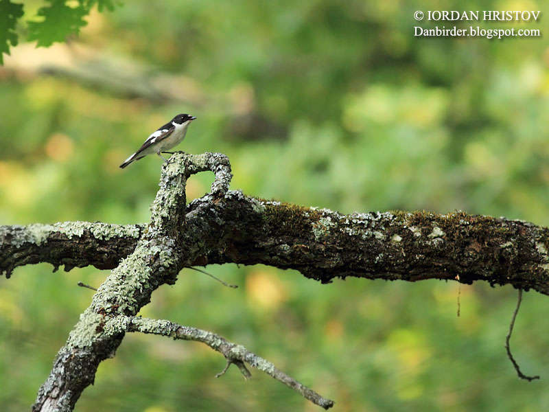 Semi-collared Flycatcher photography
