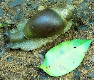 Lesma com caracol na Trilha do Poço Preto, no Parque Nacional de Iguaçu.