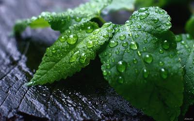 Gotitas de agua sobre las hojas después de la lluvia