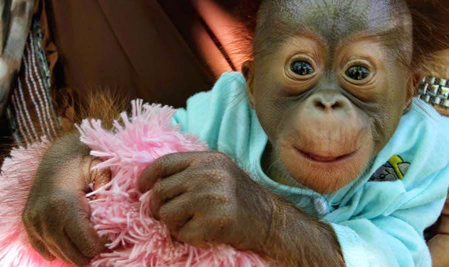 Si Makaeel, Bayi Orangutan dari Sawahlunto