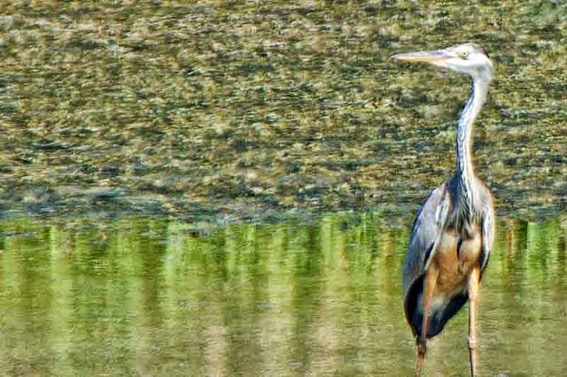 bird, Grey Heron