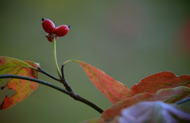 The bright red berries of a flowering dogwood (Cornus florida) are beautiful and totally capture autumn. These are from a large tree at Greenbo Lake in Kentucky.