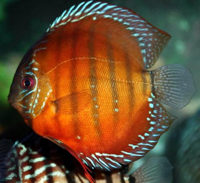 Discus Fish Life of Sea