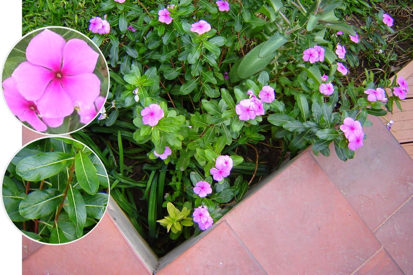 V e r d e c h a c o vinca rosa vincapervinca - Alegria planta cuidados ...
