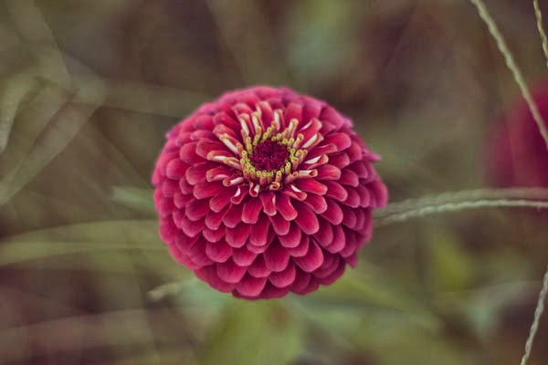 Queen Red Lime Zinnias