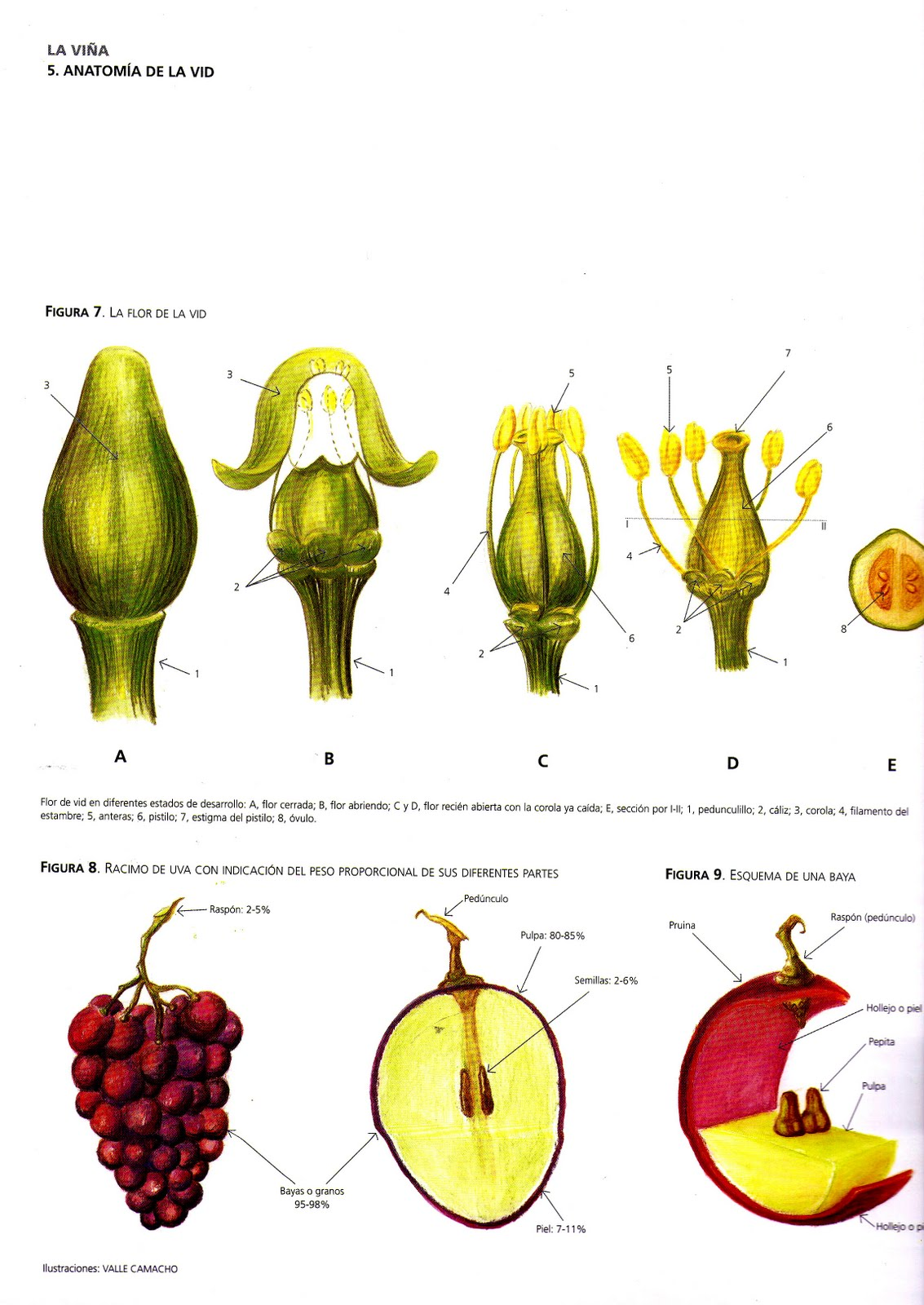 Asombroso Anatomía De Una Vid De Uva Galería - Anatomía de Las ...