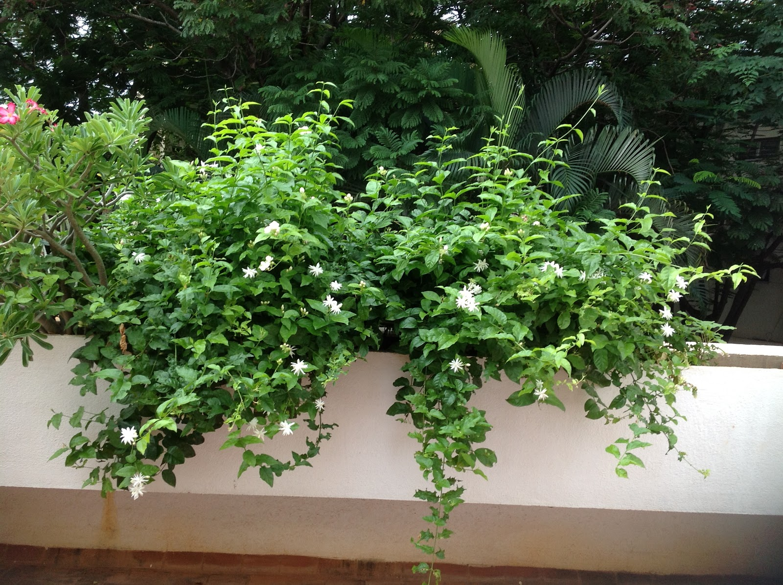 Organic Thoughts My Jasmine Flower Plant In Full Bloom