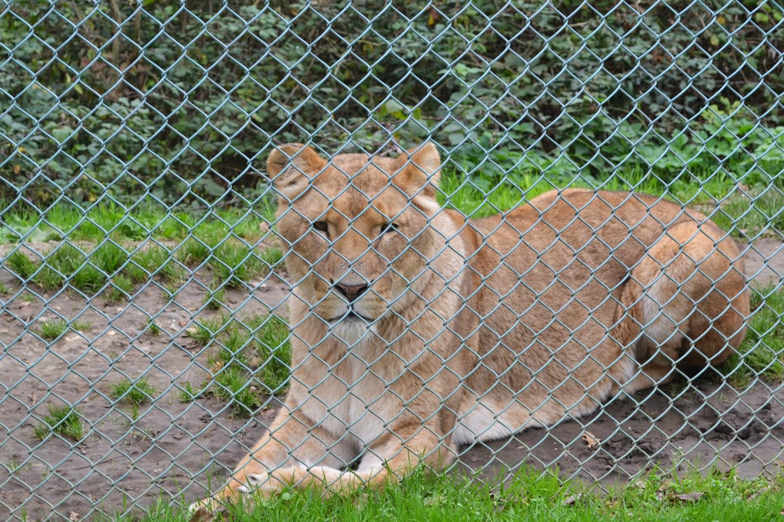 Africa Alive Lion