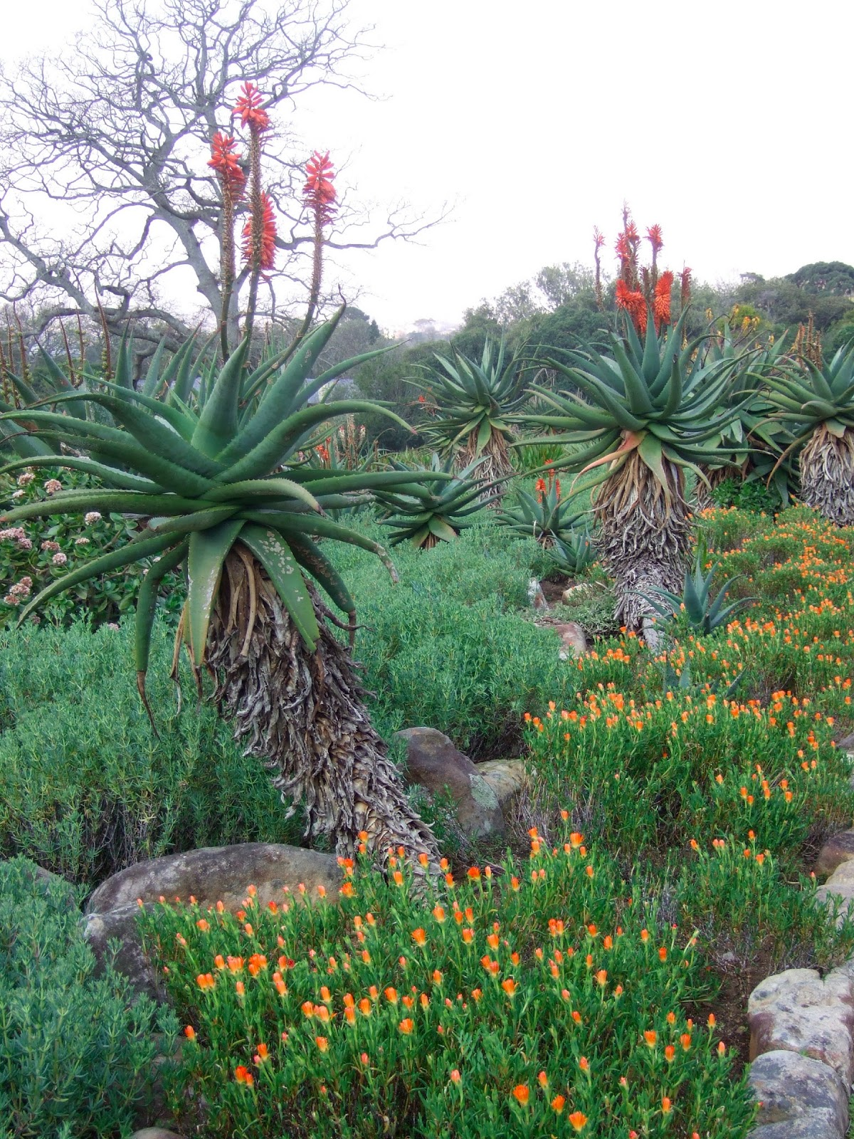 Travel In A Garden Kirstenbosch National Botanical Gardens Cape Town At The Chelsea Flower