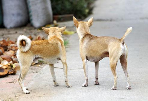 Female Dog In Heat Scent