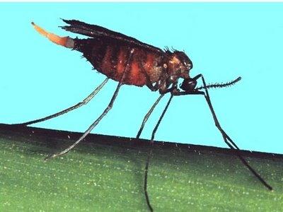 Resultado de imagen para mosquito del trigo